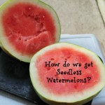 How do we get seeedless watermelons