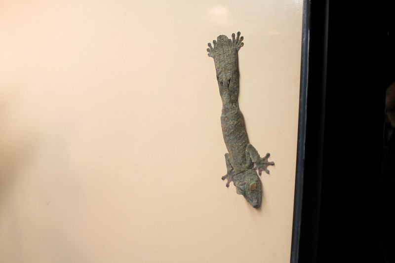 Academy of Natural Sciences of Drexel Hill Reptile Exhibit Gecko